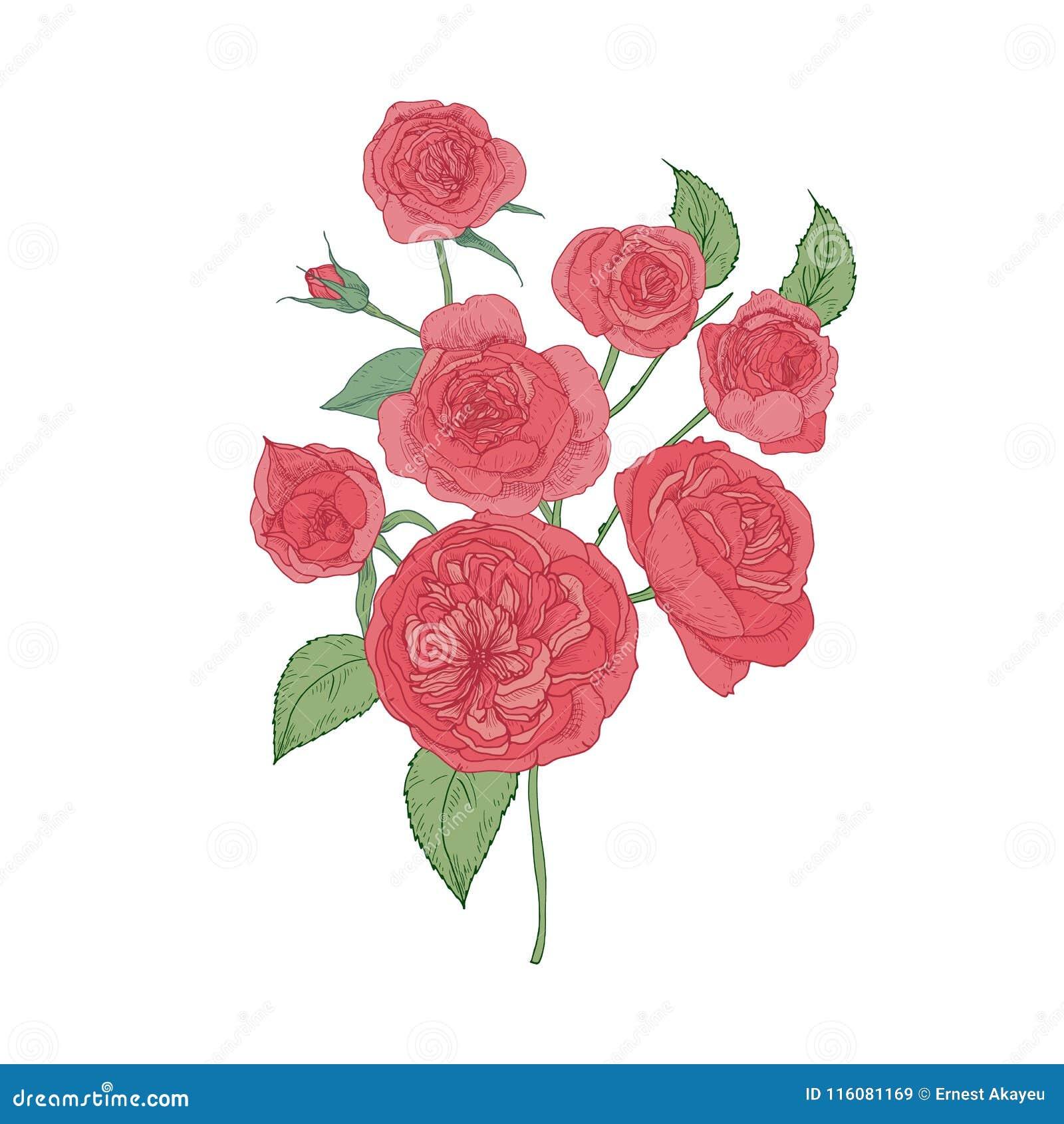 Grupp av rosa kål- eller Austin Rose blommor som isoleras på vit bakgrund Botanisk teckning av den kultiverade trädgården