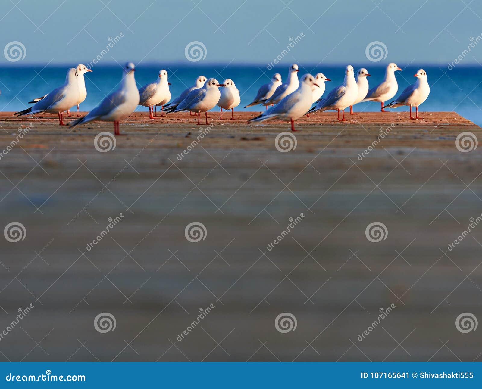 Grupp av seagulls