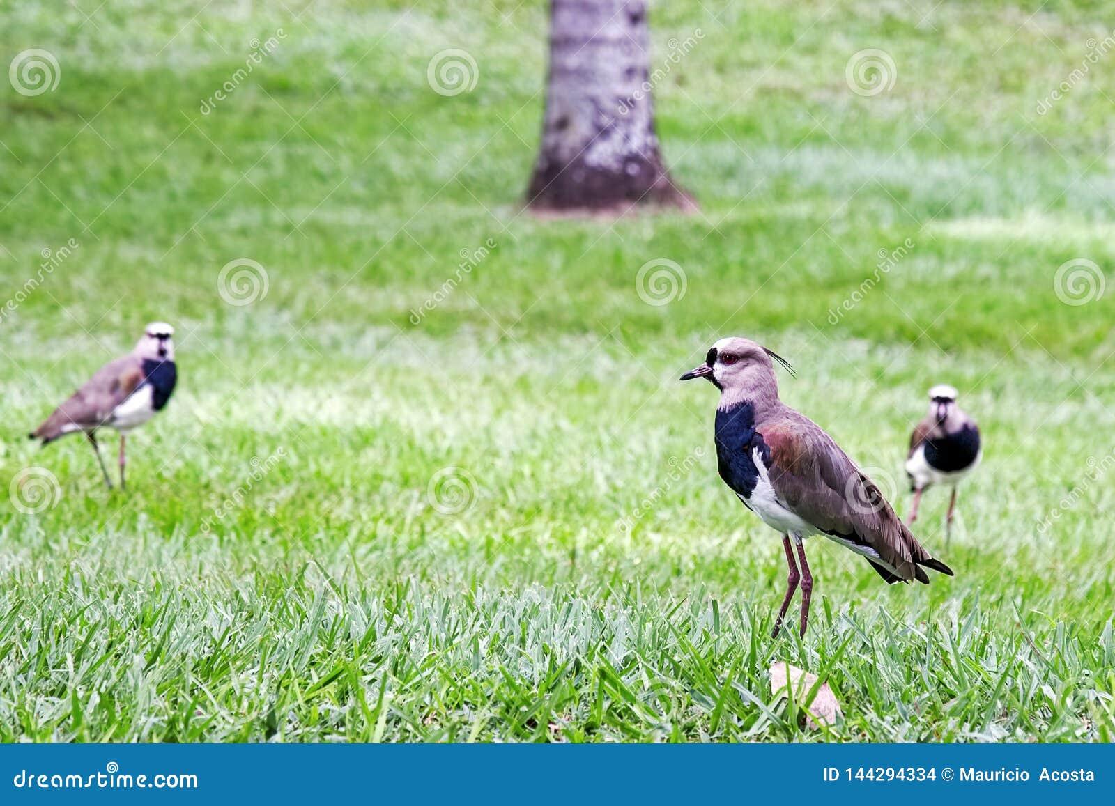 Grupp av sydliga vipafåglar
