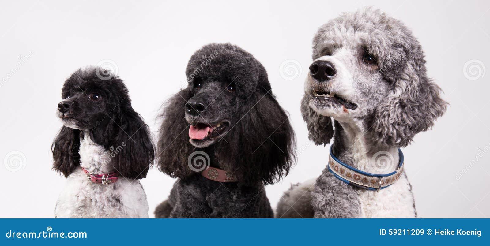 Grupp av tre pudlar
