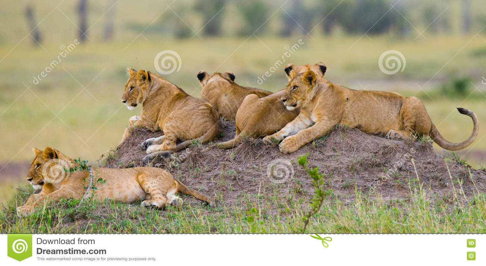 Grupp av unga lejon på kullen Chiang Mai kenya tanzania mara masai serengeti