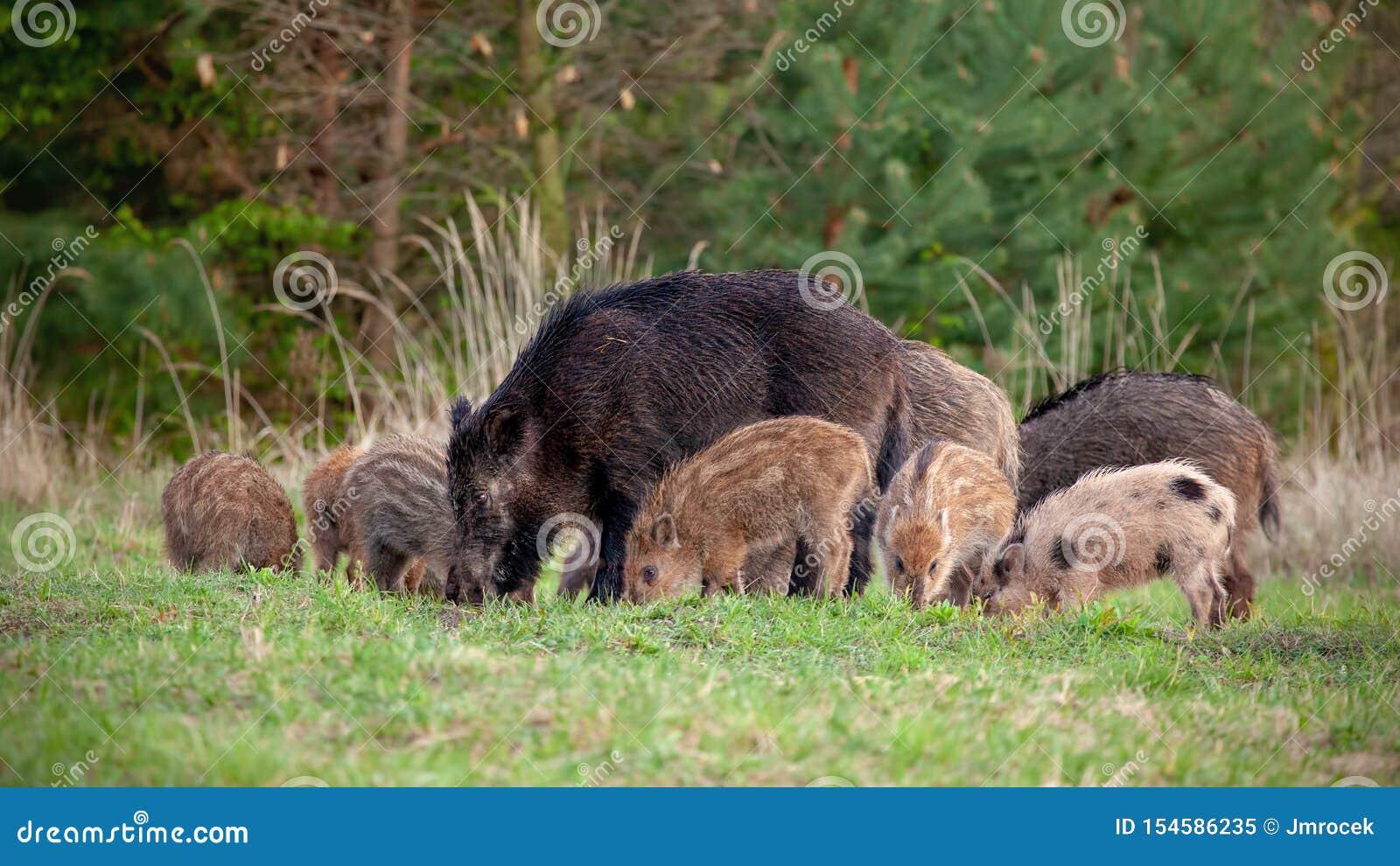 Grupp av vildsvin med mycket små avrivna spädgrisar som matar i vildmark i vår