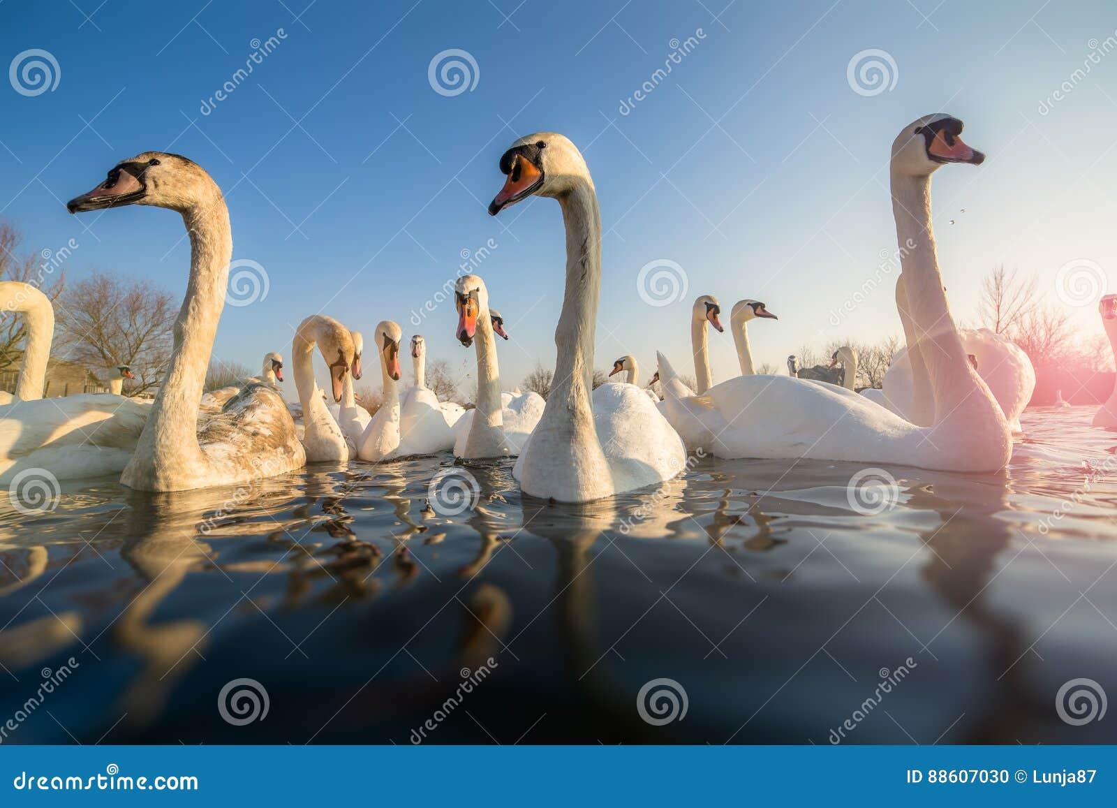 Grupp av vita svanar