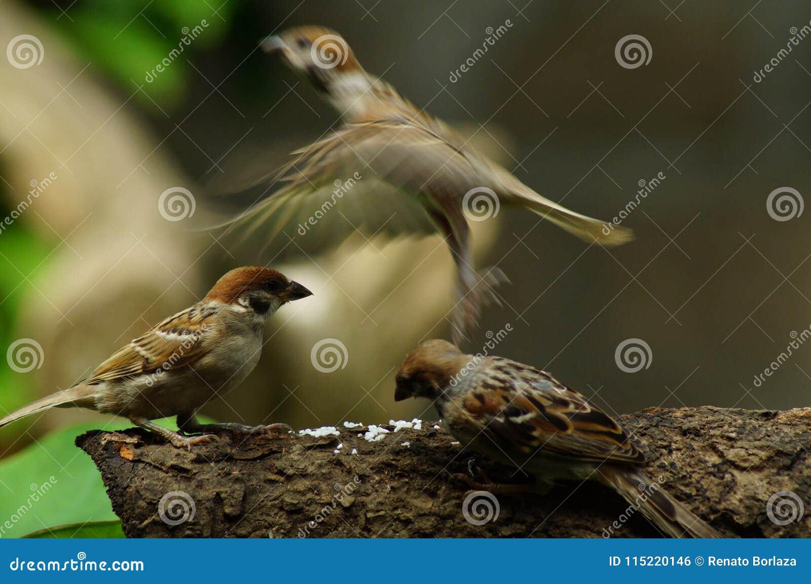 Grupp sittpinne av för den filippinska Maya Bird Eurasian Tree Sparrow eller förbipasserandemontanusen på fluga för trädfilial en