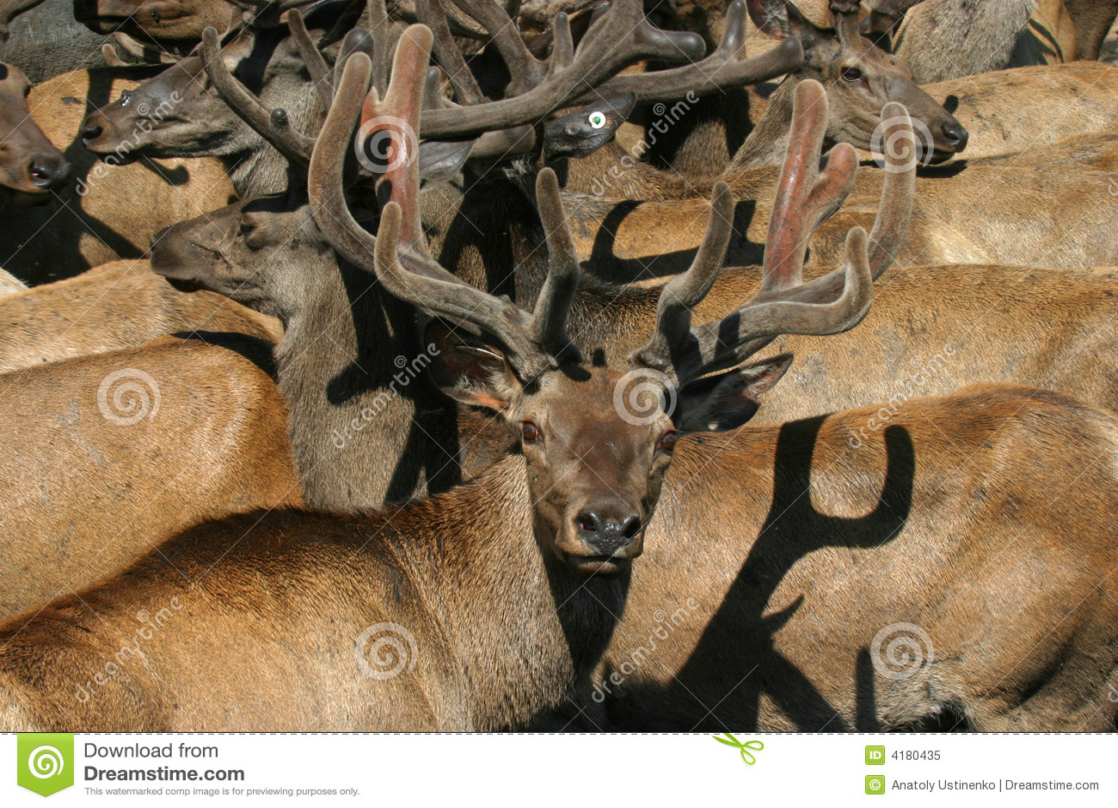 Gruppe Bighornrotwild