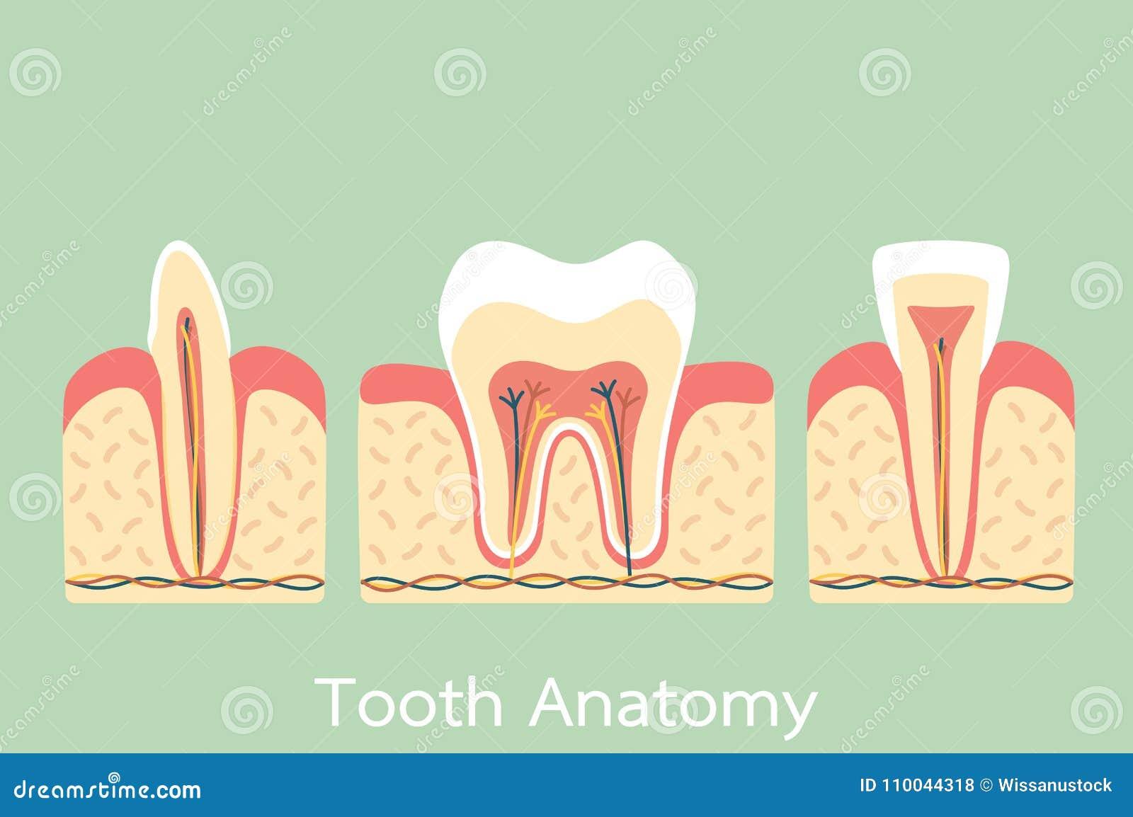 Gruppe Der Zahnanatomiestruktur Einschließlich Den Knochen Und Den ...