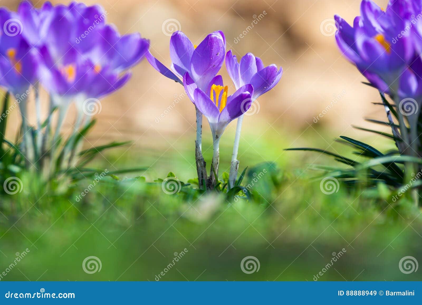 Gruppe des ersten Frühlinges blüht - purpurrote Krokusblüte draußen