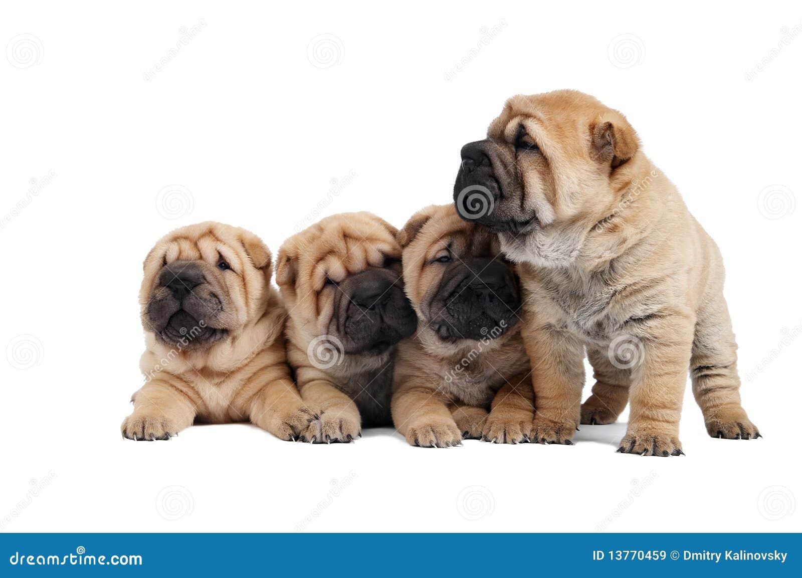 Gruppe des kleinen sharpei Hundes