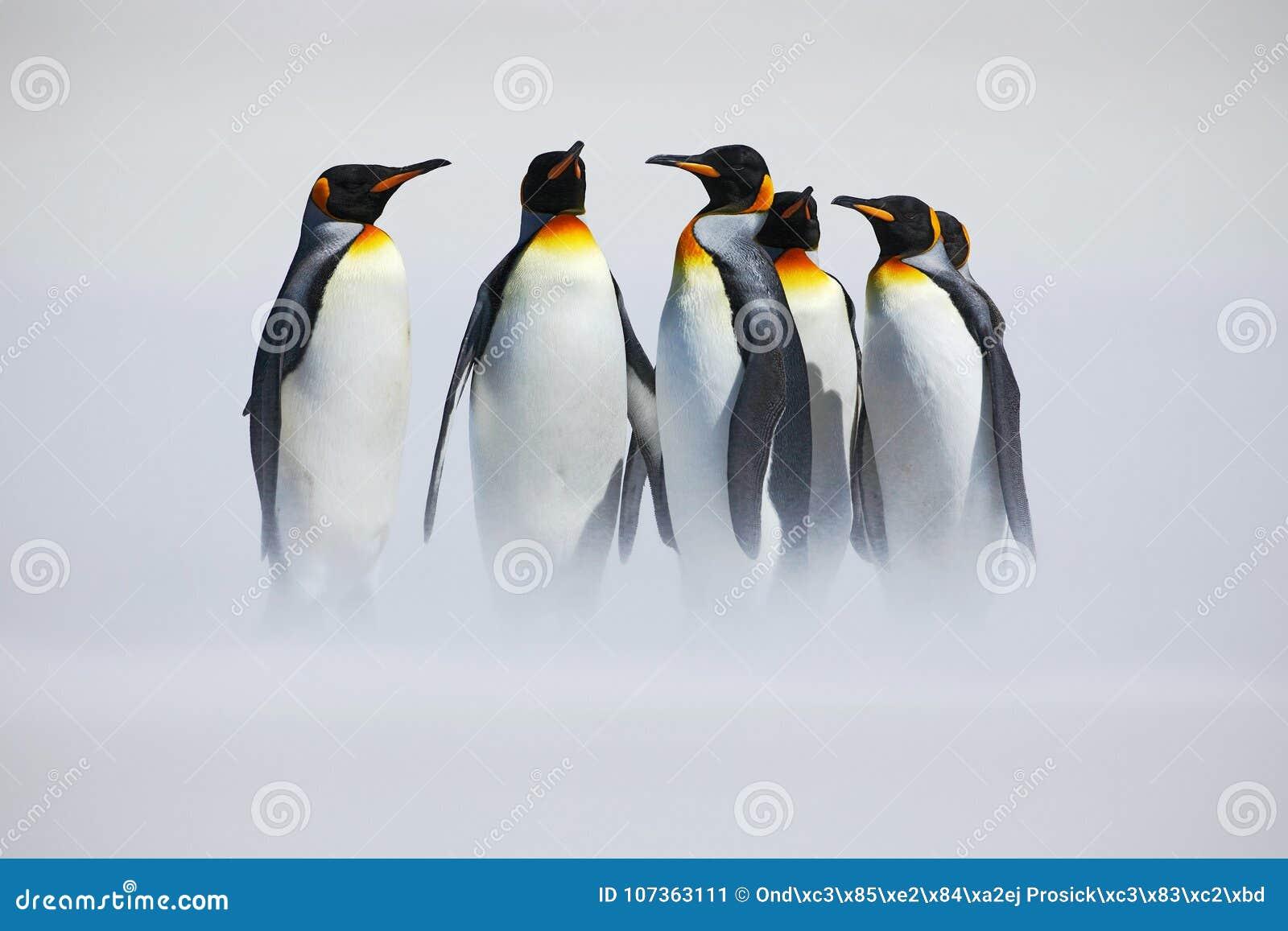 Gruppe des Pinguins Gruppe von sechs Königpinguinen, Aptenodytes patagonicus, gehend vom weißen Schnee zum Meer in Falkland Islan
