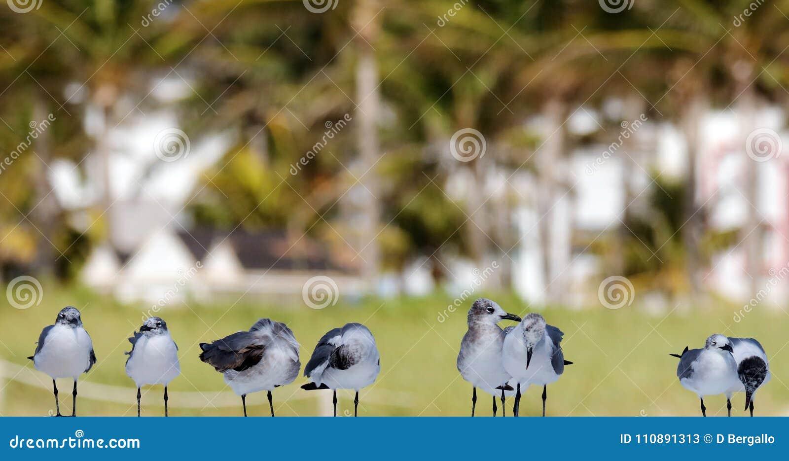 Gruppe des Seemöwenfliegens im Ozean in Süd-Florida Miami Beach
