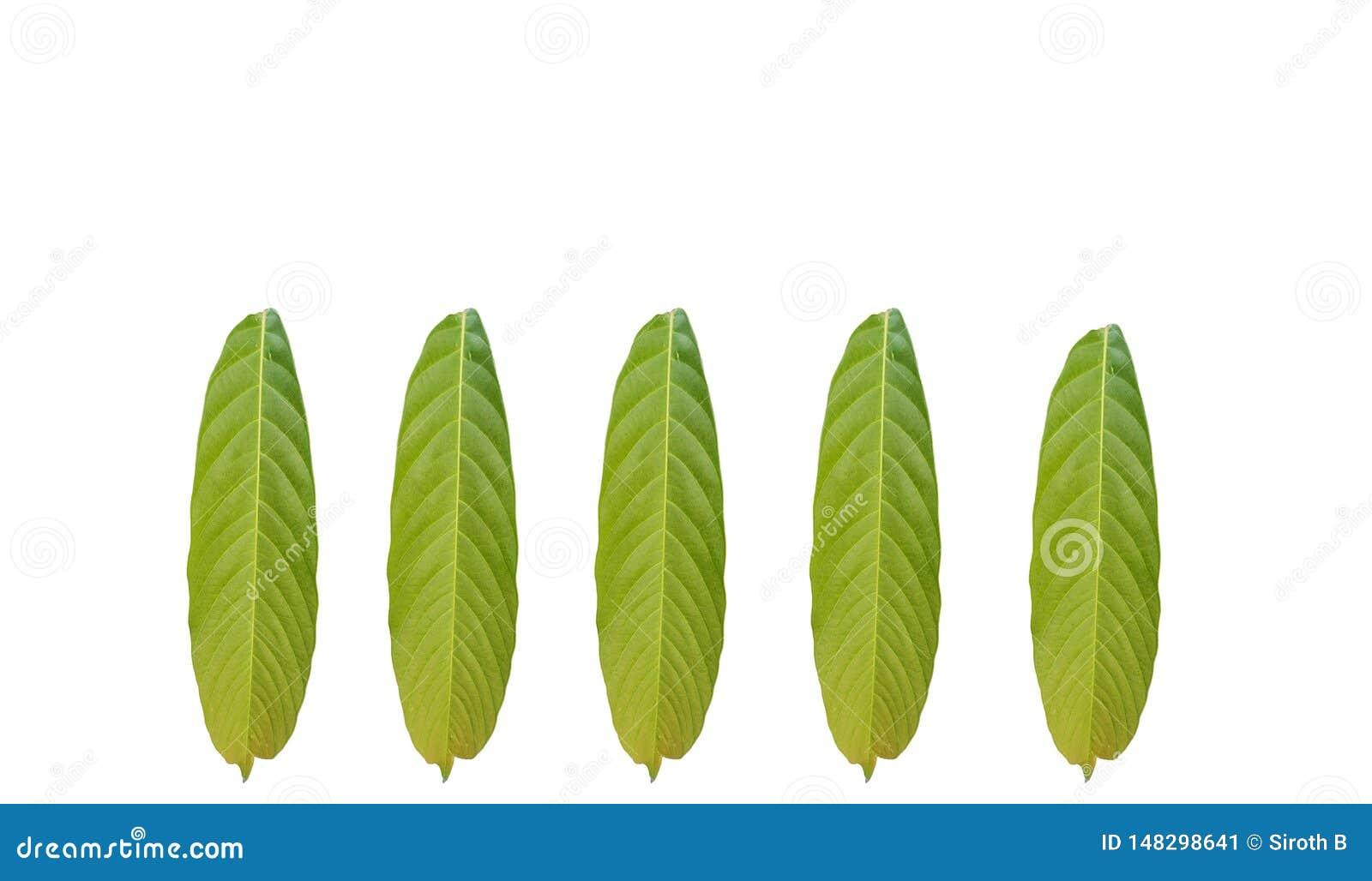 Gruppe des tropischen Blattes des grünen Laubs lokalisiert auf weißen Hintergründen