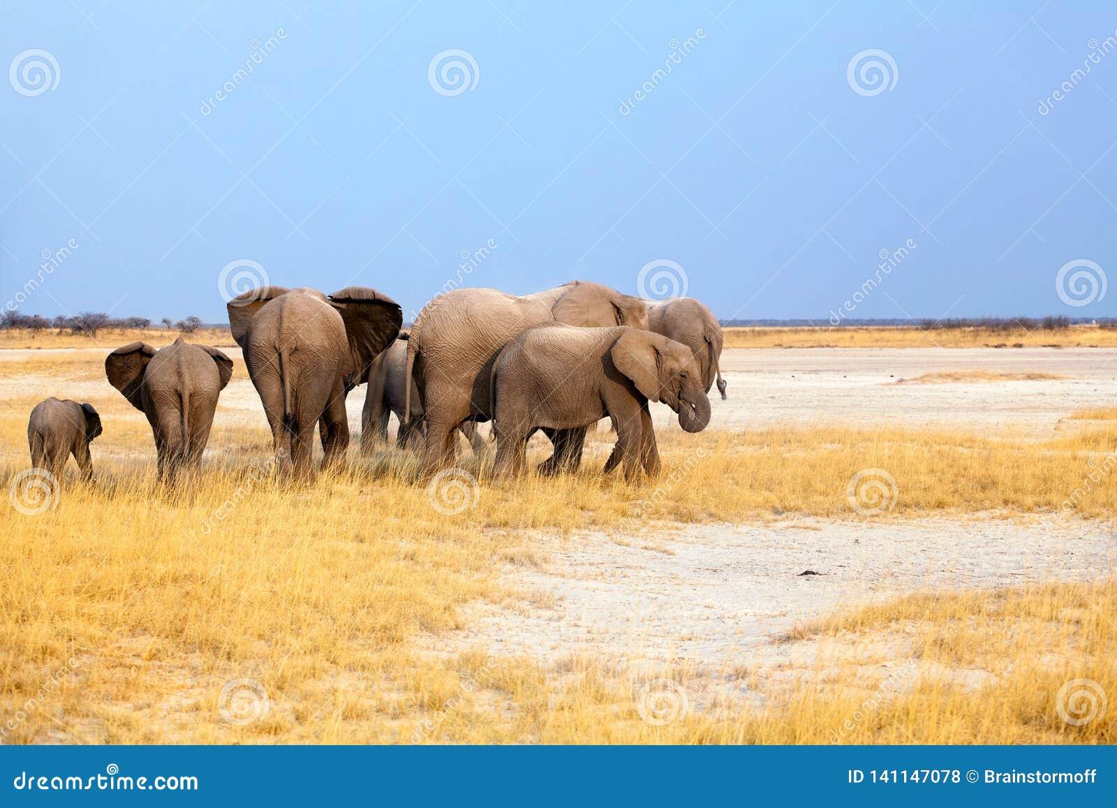 Gruppe Elefanten groß und kleine Junge auf Hintergrund des gelben Grases und des blauen Himmels in Nationalpark Etosha, Namibia,