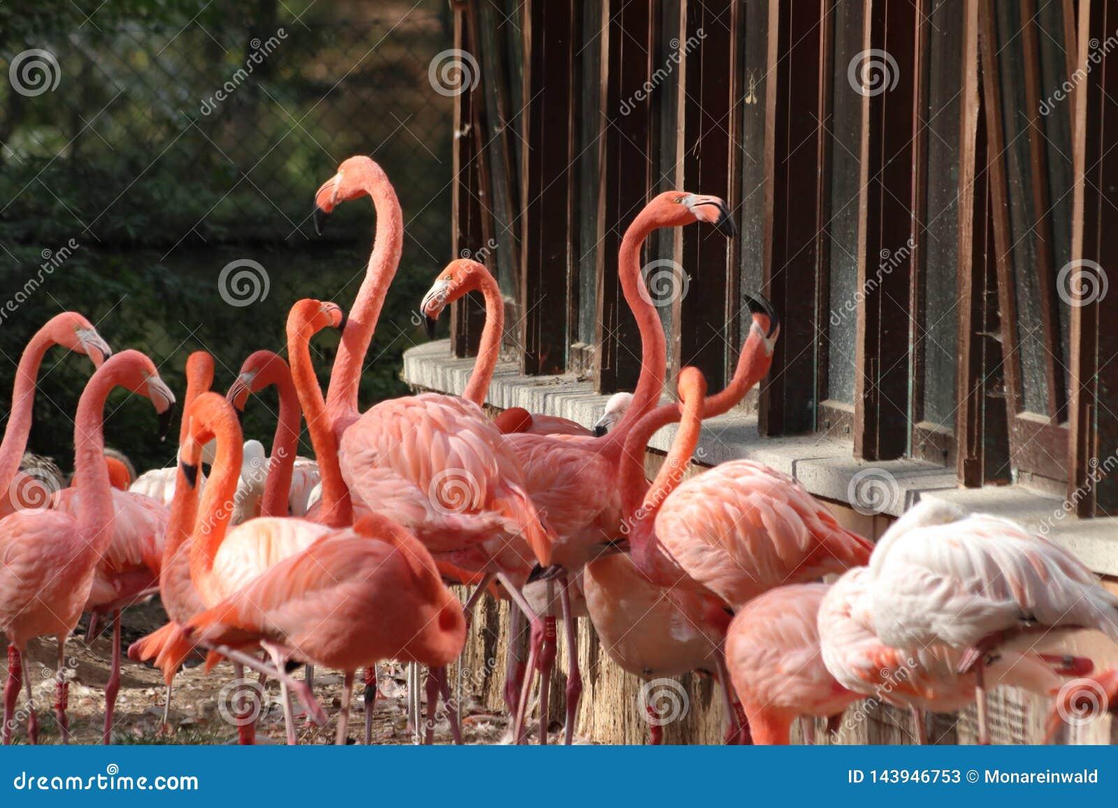 Gruppe Flamingos, die im Zoo in Deutschland in Nürnberg stehen