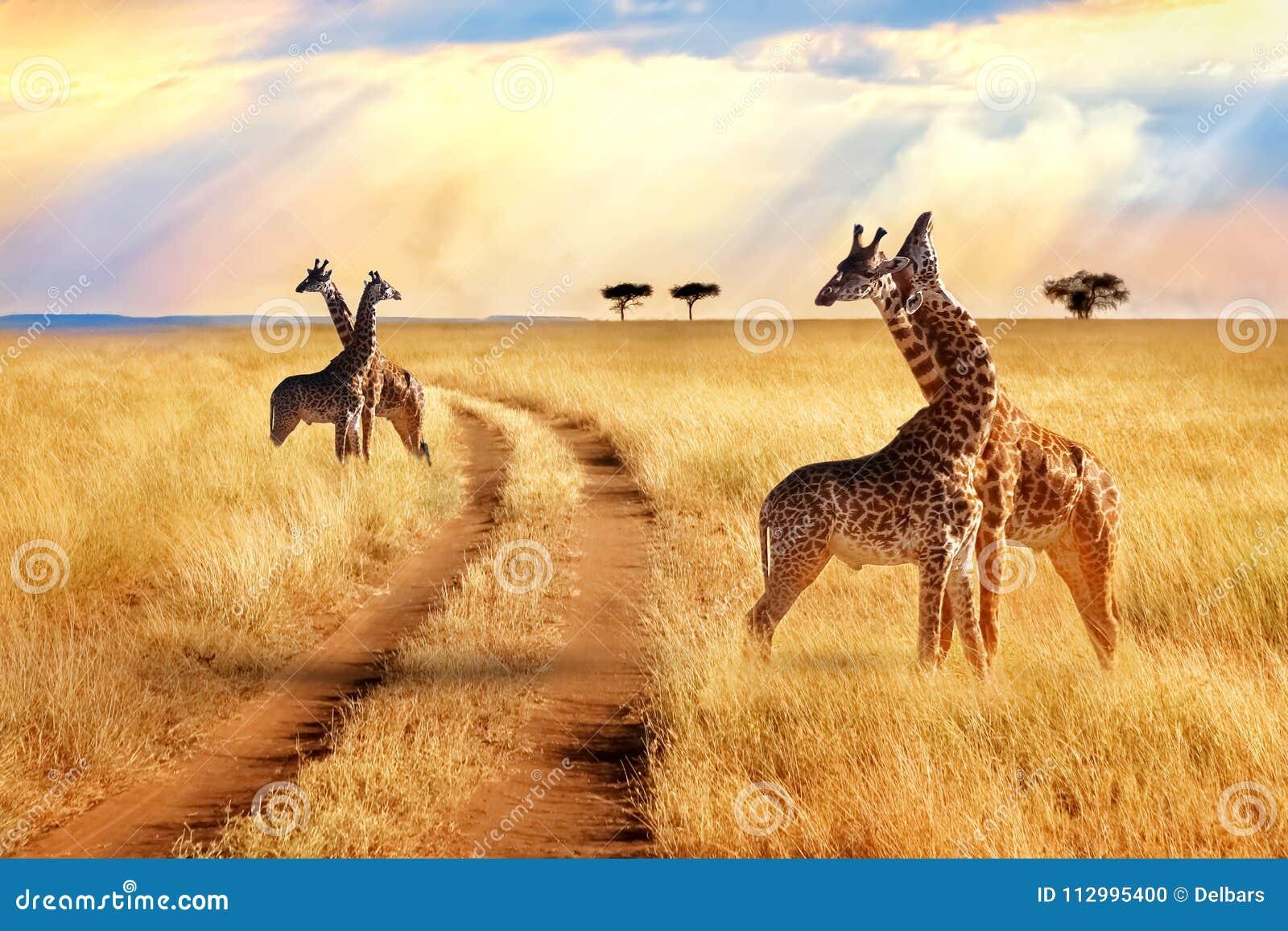 Gruppe Giraffen nahe der Straße im Nationalpark Serengeti Sonnenuntergang in Ostsee