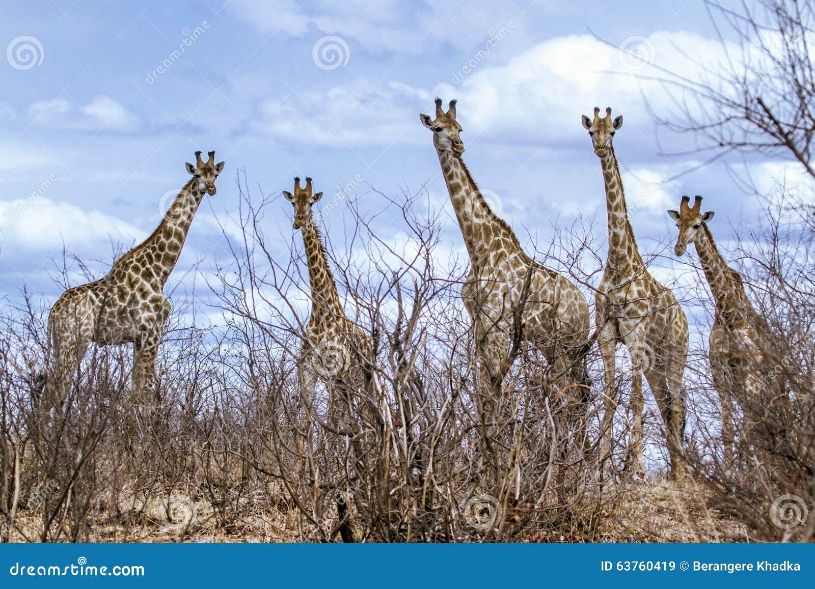 Gruppe Giraffen in Nationalpark Kruger, in der Straße, Südafrika