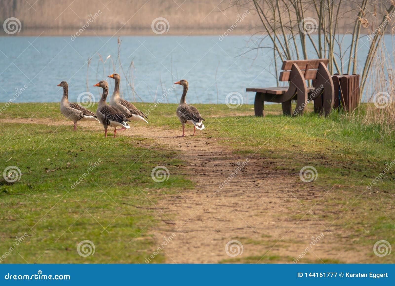 Gruppe Graugansgänse, die auf einem Weg und einem Rattern stehen