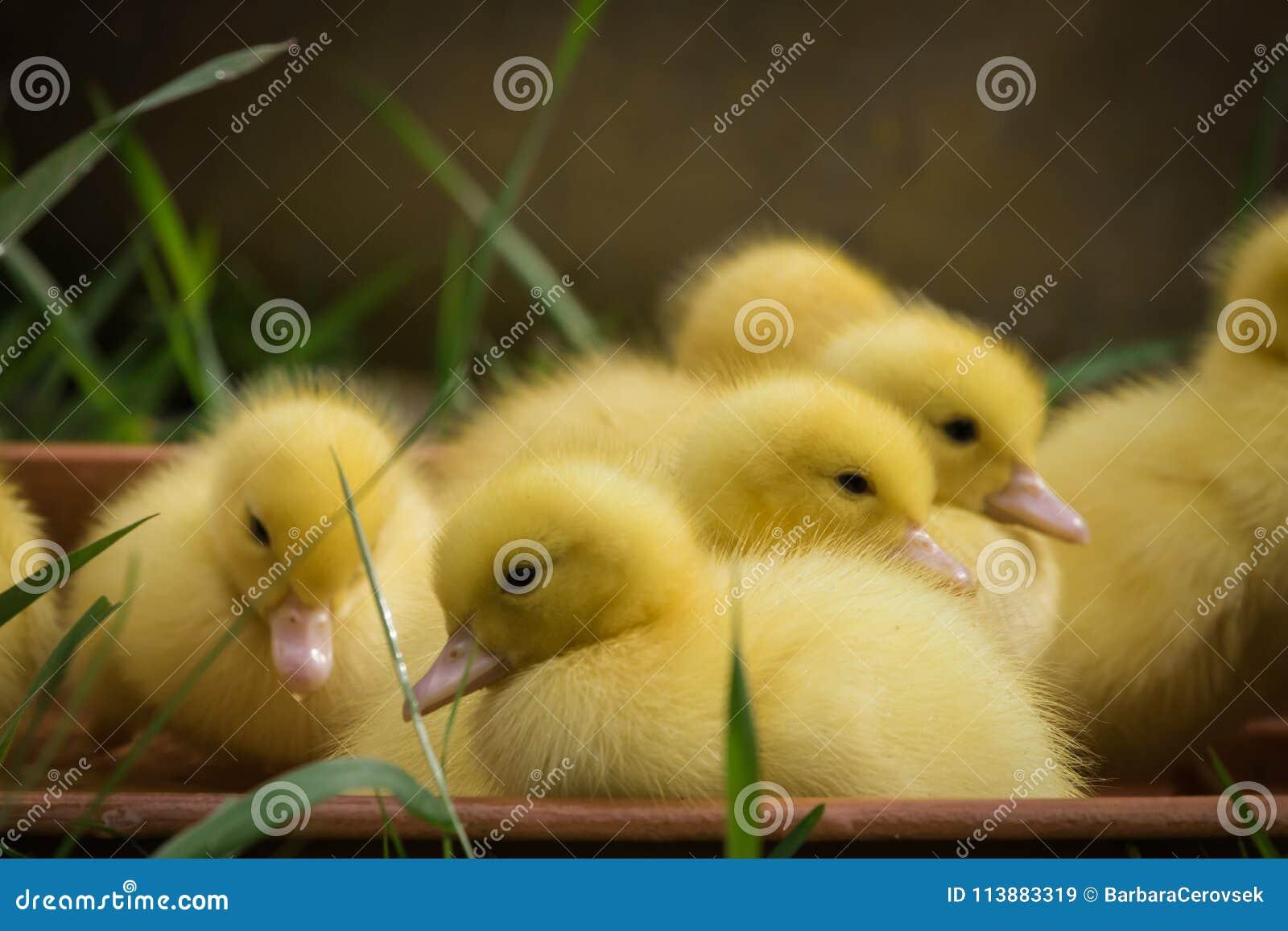 Gruppe nette gelbe flaumige Entlein im grünen Gras des Frühjahres, Tierfamilienkonzept