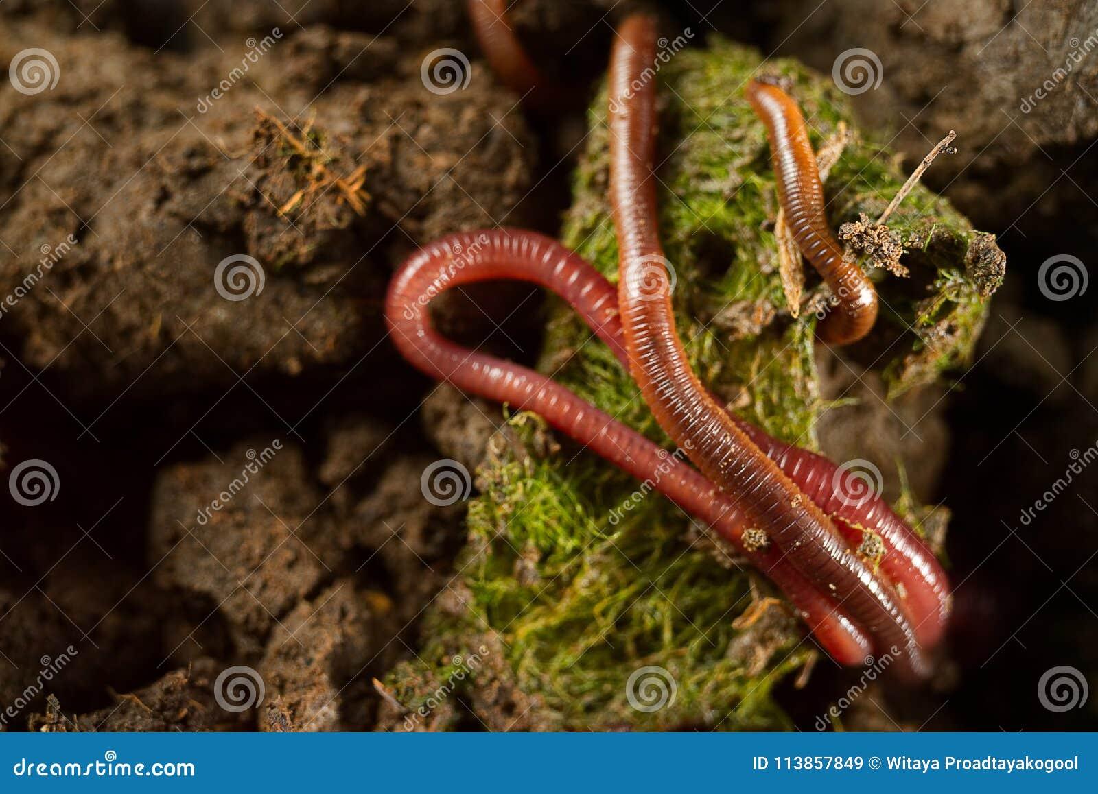 Gruppe Regenwürmer auf Frischwasseralgen