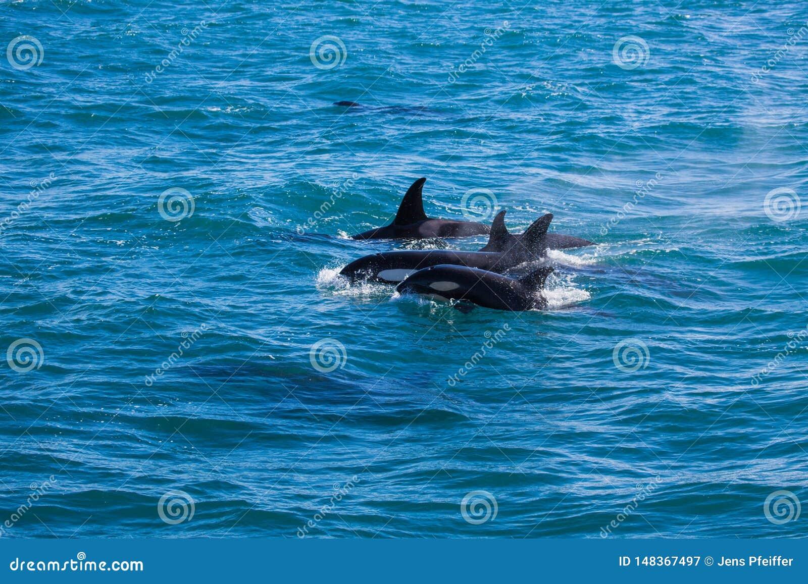 Gruppe Schwertwale im Wasser mit Baby