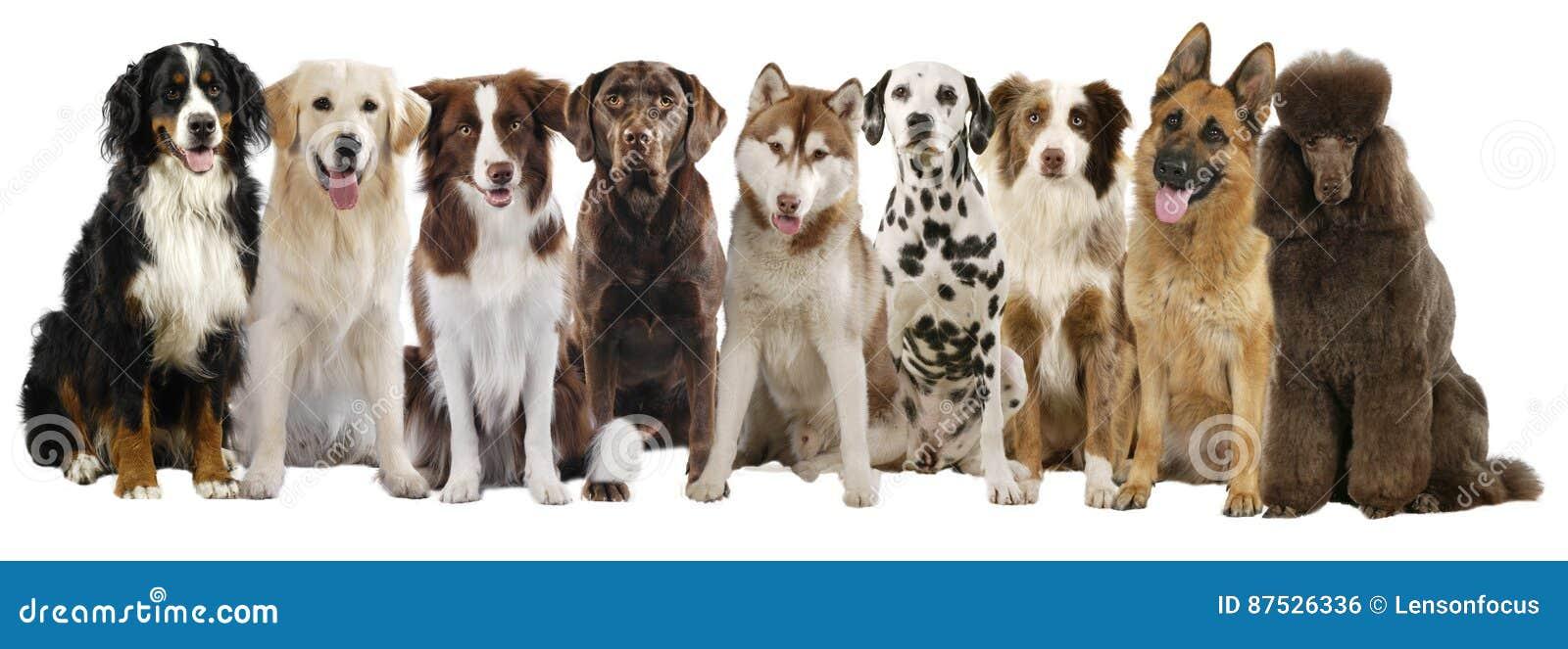 Gruppe verschiedene große Hunderassen
