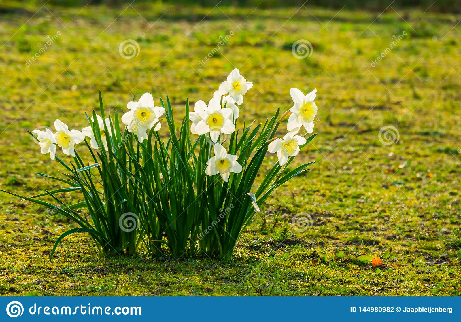 Gruppe Weiße Narzissen In Der Blüte Populäre
