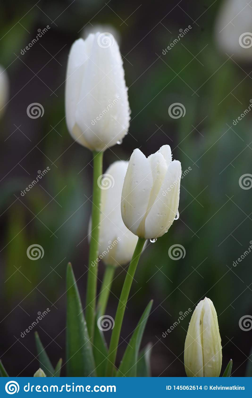 Gruppe wei?e Tulpen