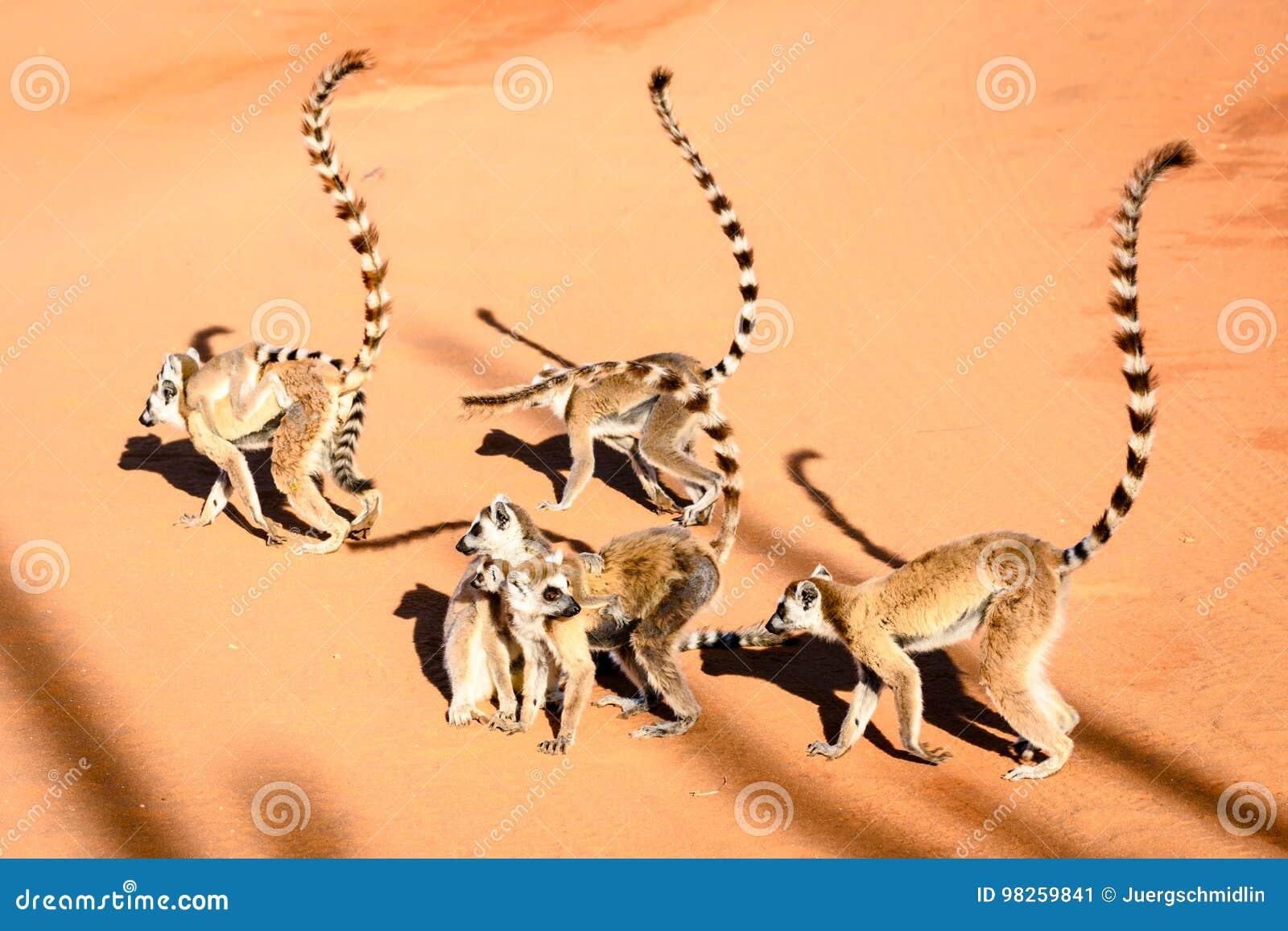 Gruppen av cirkeln tailed makier i soligt väder på röd sand