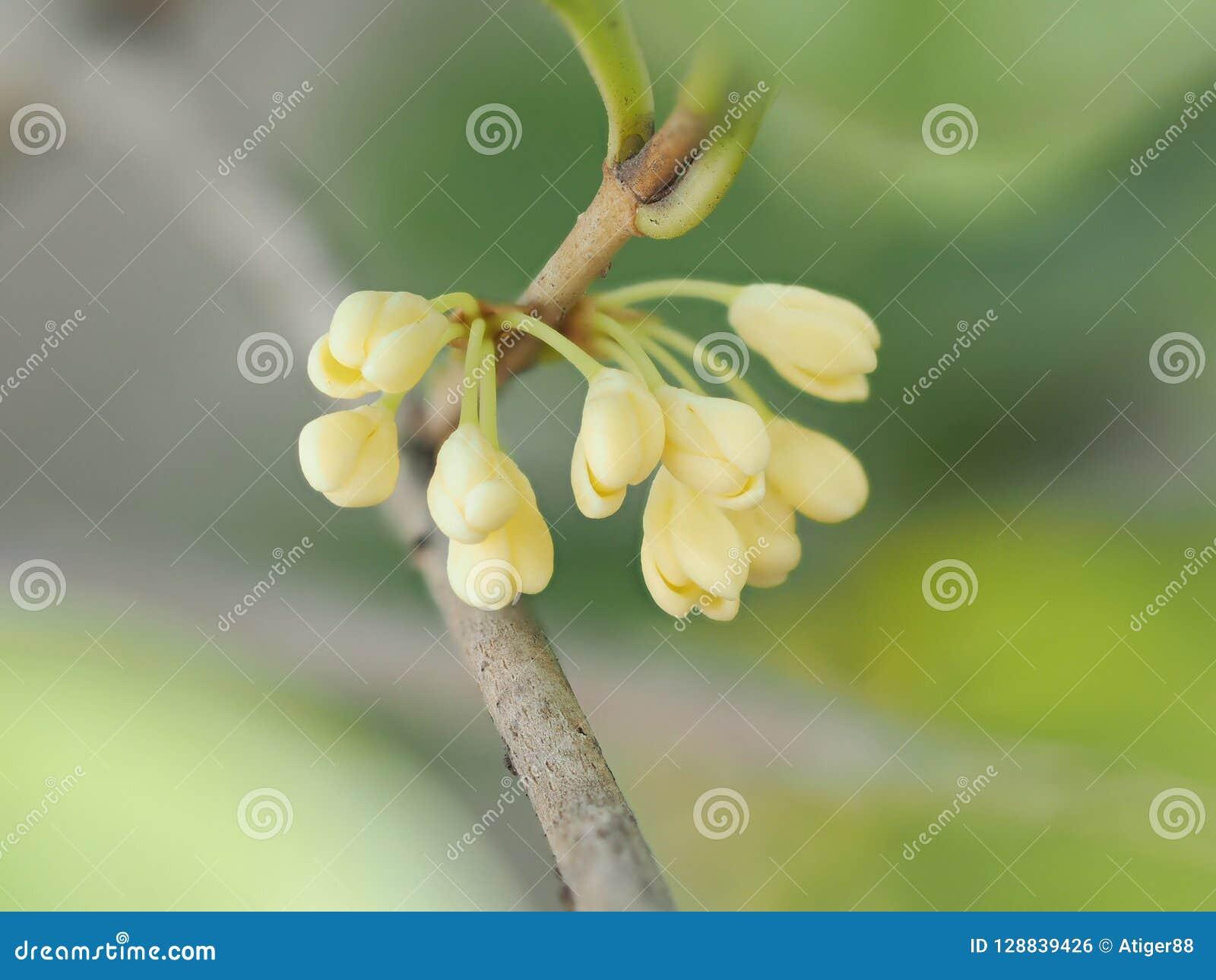 Gruppen av den söta osmanthusen eller söta olivgröna blommor blomstrar på dess träd