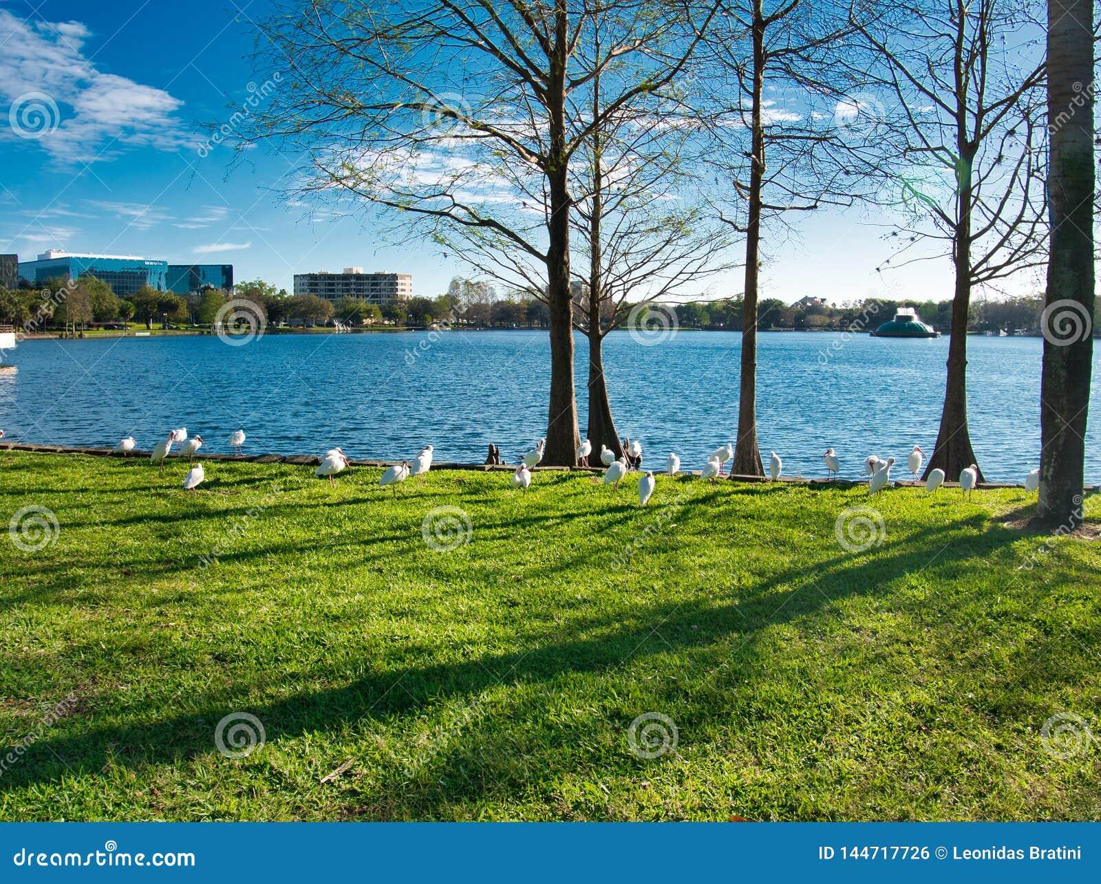 Gruppen av den vita ibits går vid sjön