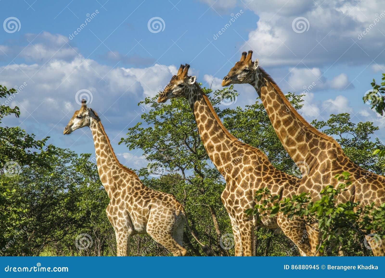 Gruppen av giraff i busken i Kruger parkerar, Sydafrika