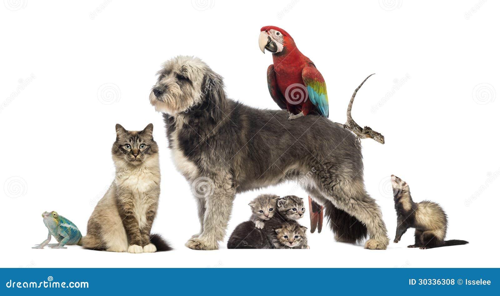 Gruppen av husdjur, grupp av husdjur - förfölja, katten, fågeln, reptilen, kanin