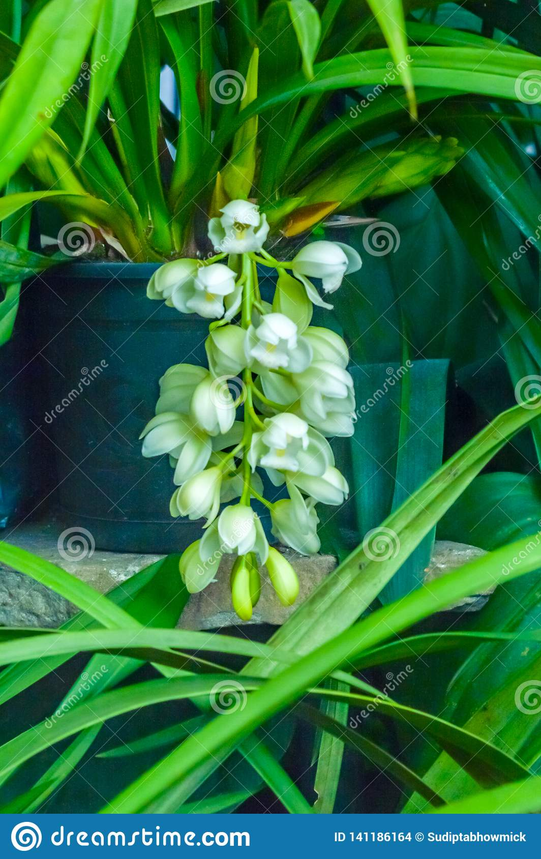 Gruppen av knoppar av den skäggiga irins, grundar gemensamt trädgårdirisart av blomningväxter med pråliga blommor