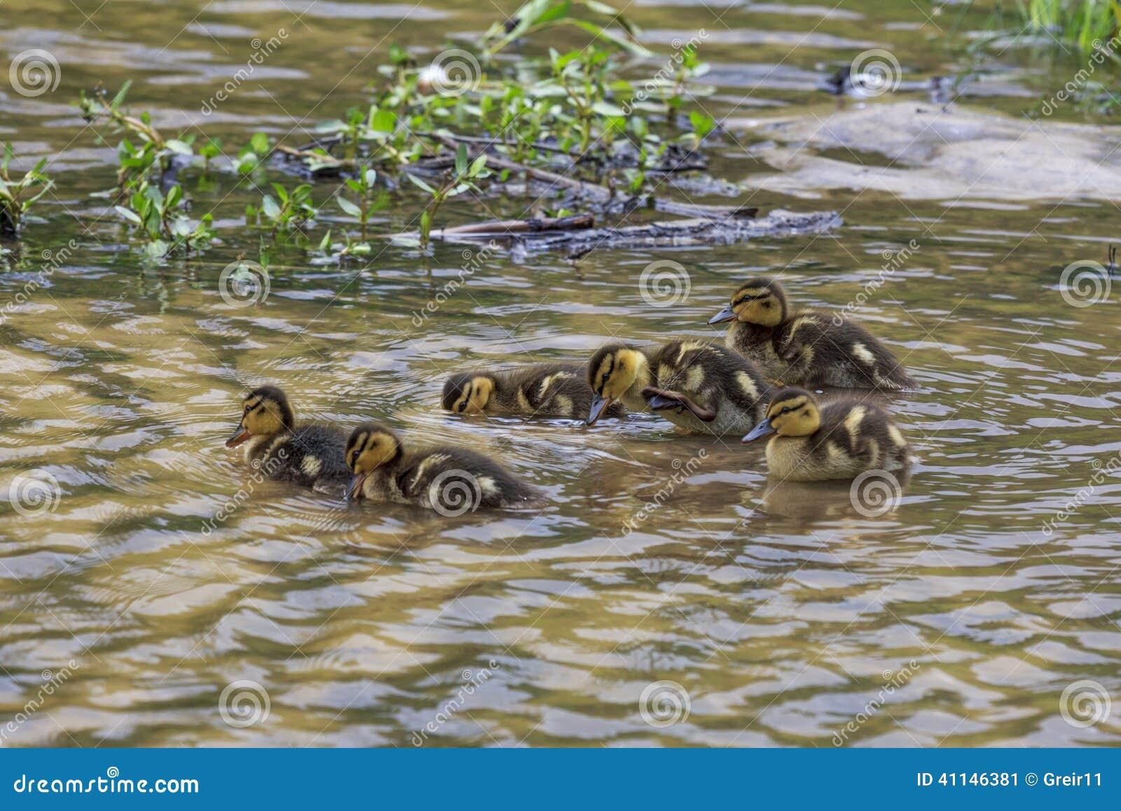 Gruppen Entleinentlein, die zusammen schwimmen