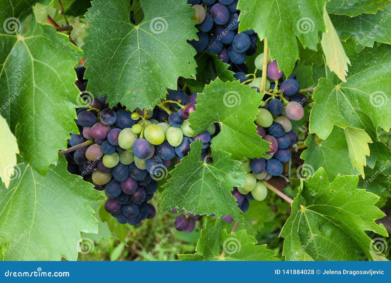 Gruppen von den frischen roten Weinreben, die unter Weinstock und grünen Blättern wachsen