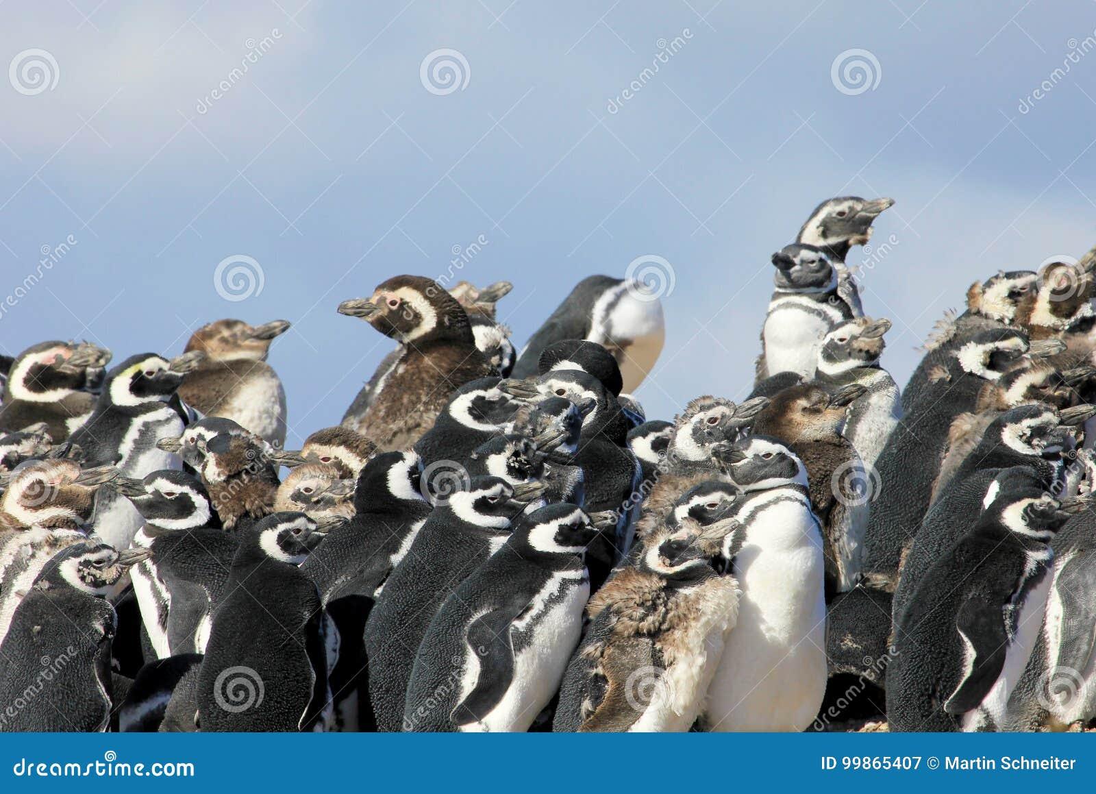 Gruppo del pinguino di Magellanic, magellanicus dello spheniscus, Falkland Islands