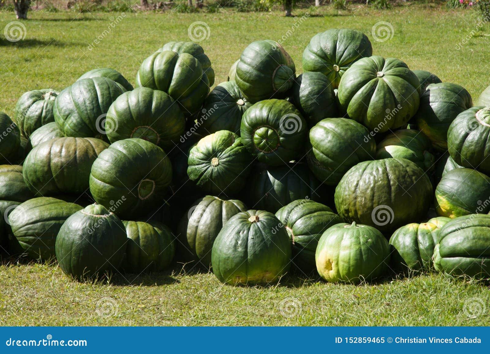 Gruppo della zucca dopo il raccolto