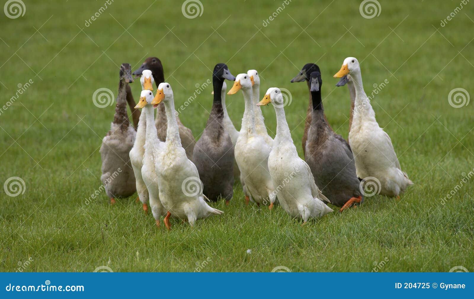 Gruppo delle anatre