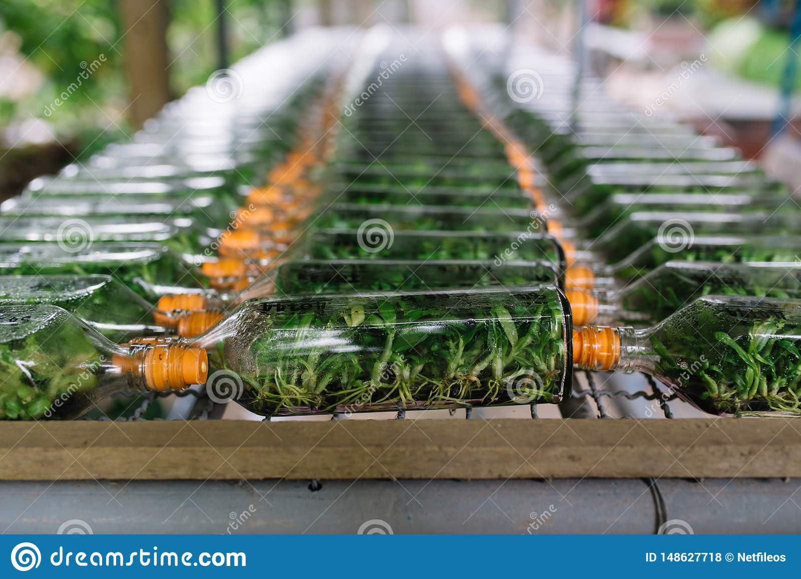 Gruppo di bottiglia per le piantine dell orchidea all azienda agricola dell orchidea in Tailandia