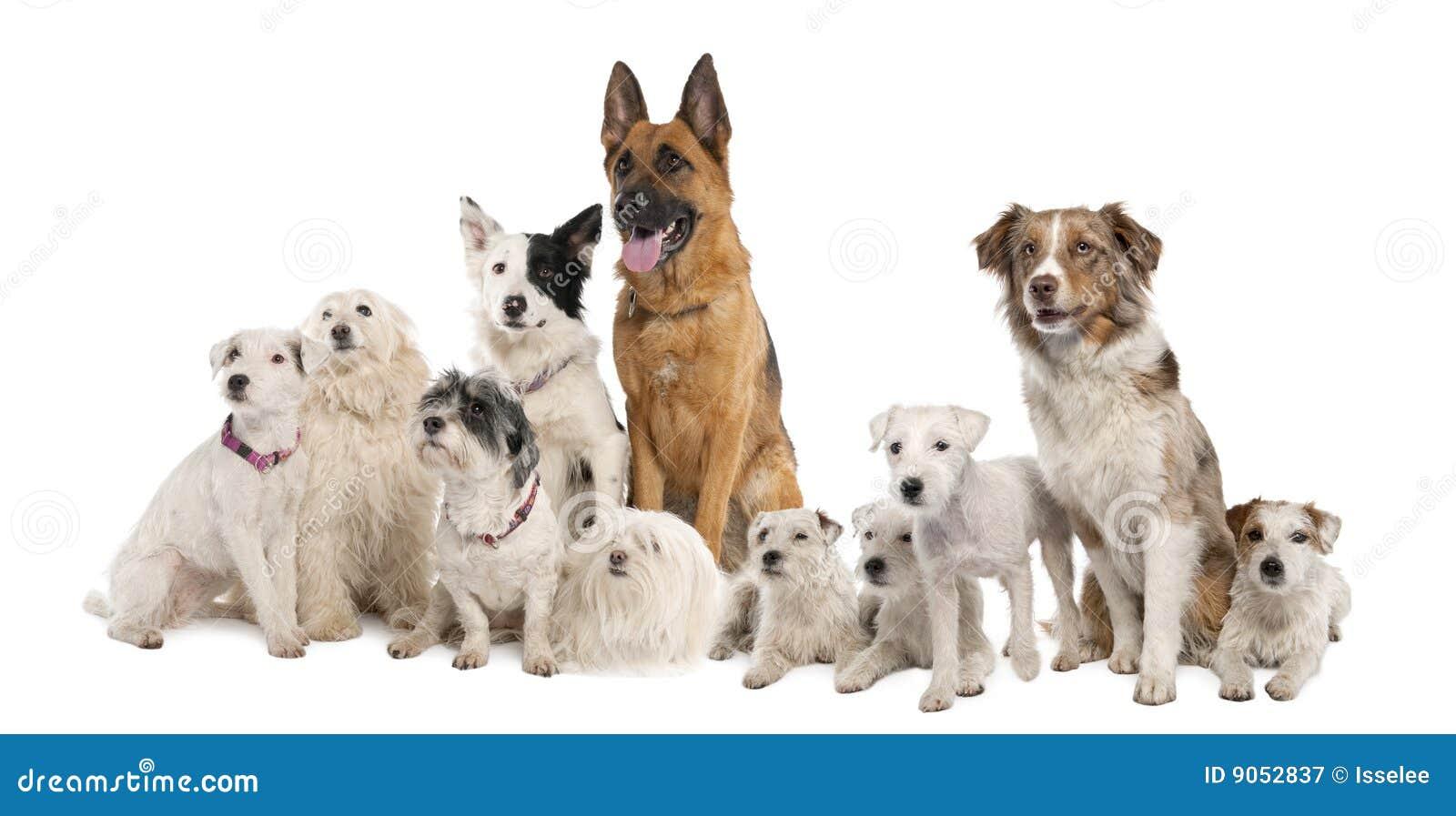 Gruppo di cane: pastore tedesco, collie di bordo, parità