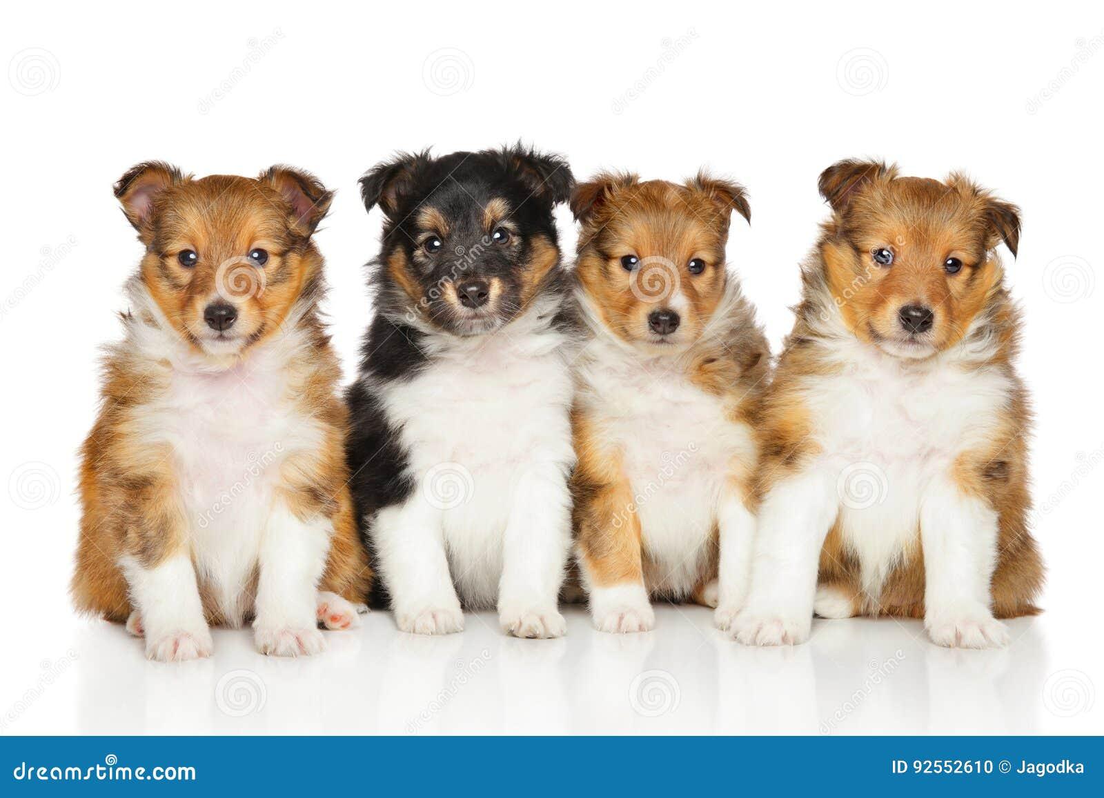Gruppo di cuccioli del cane pastore di Shetland