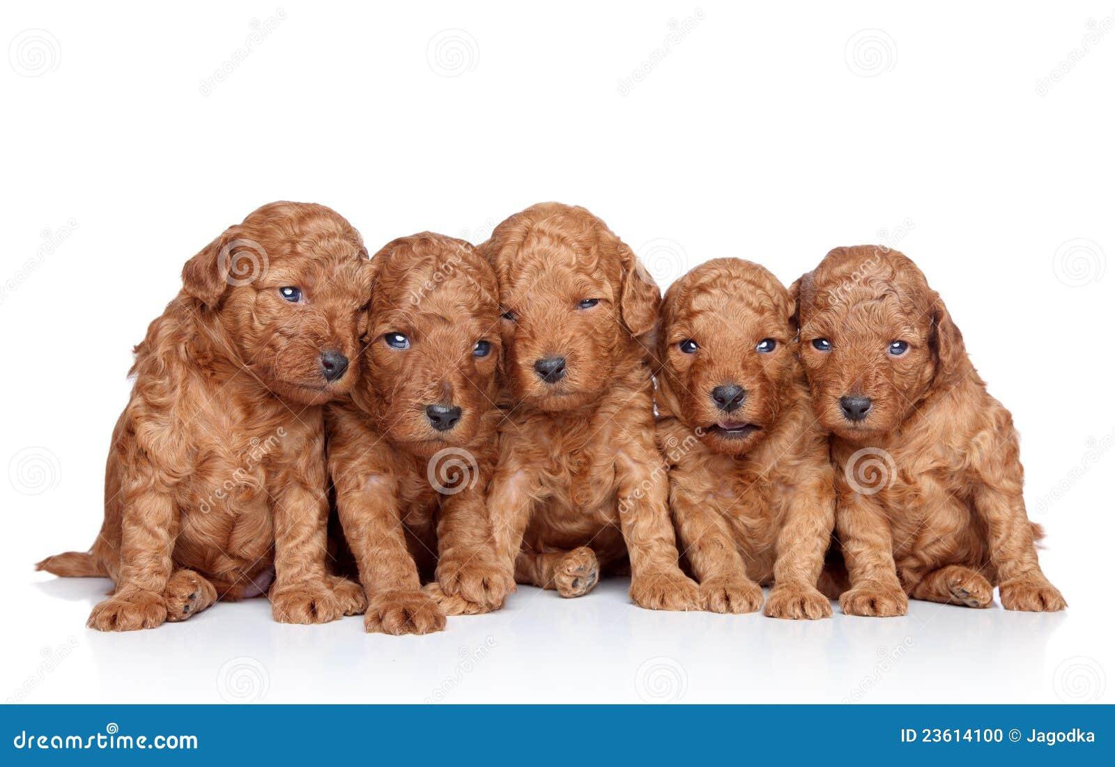 Gruppo di cucciolo del barboncino 20 giorni su un bianco - Barboncino piccolo ...