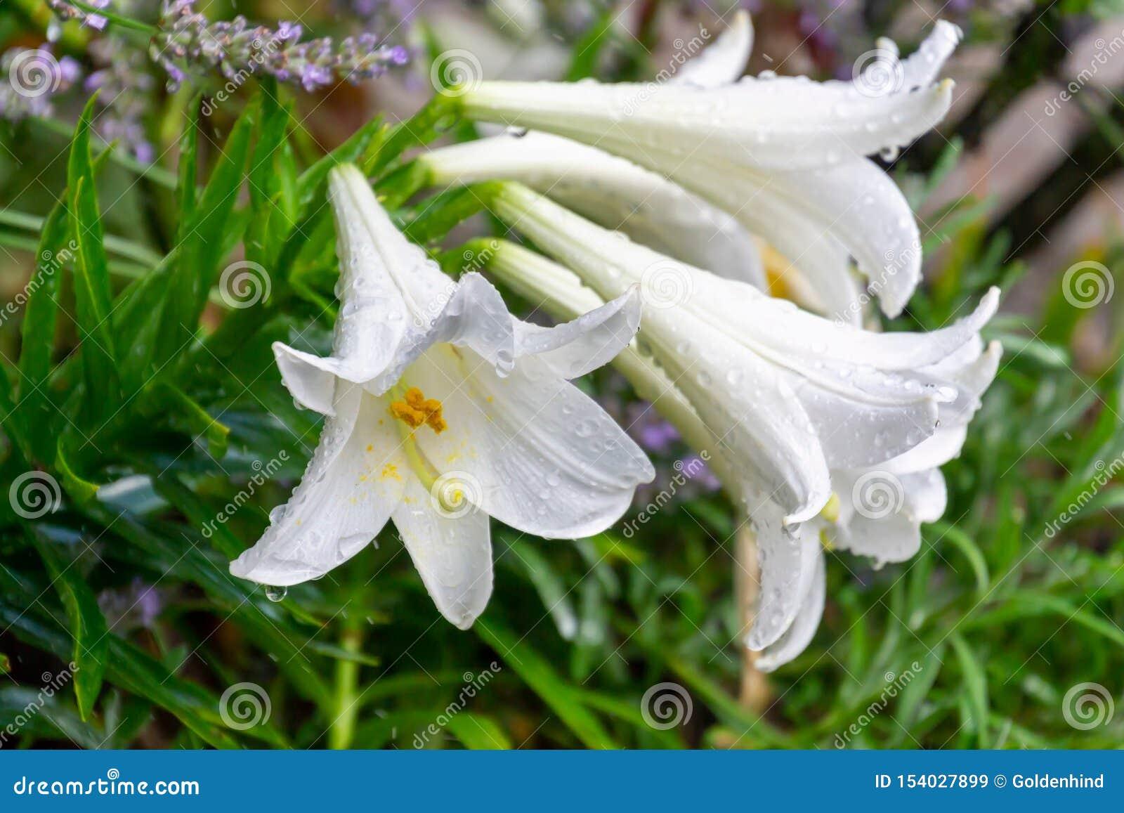 Gruppo di fiori del giglio bianco coperti di gocce di pioggia nel giardino