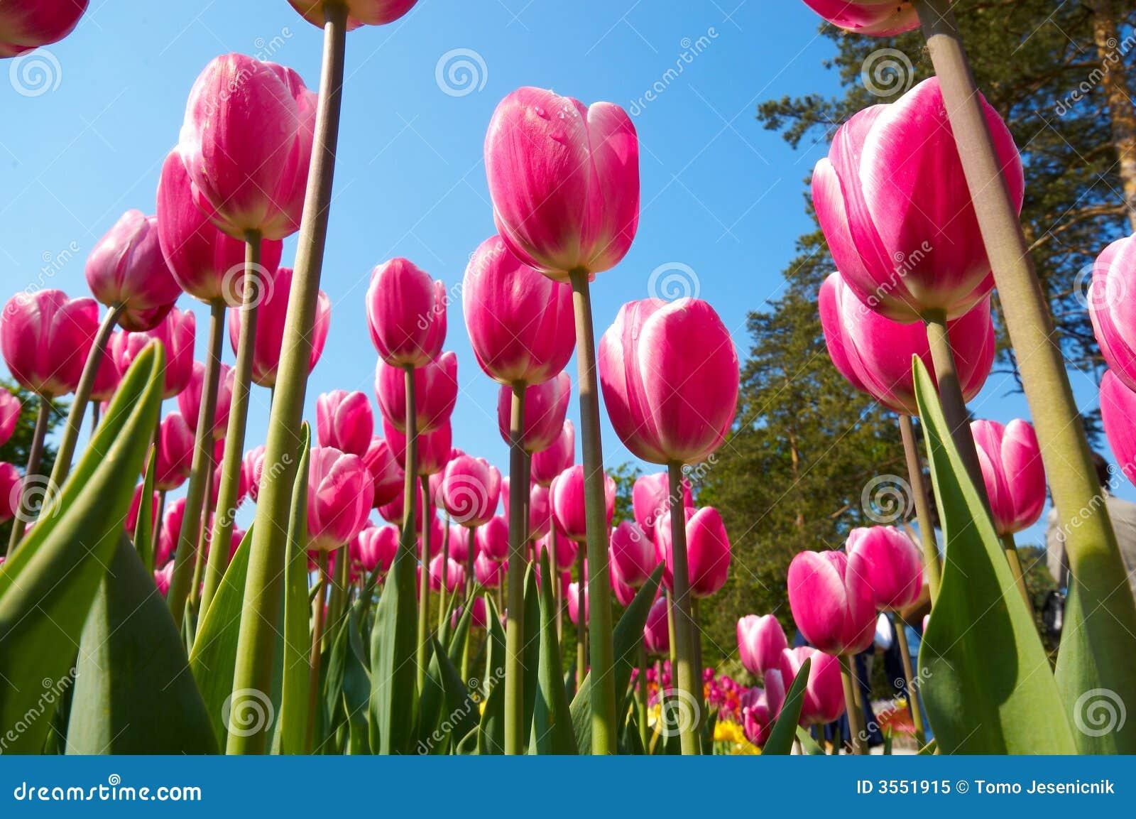 Gruppo di fiori del tulipano