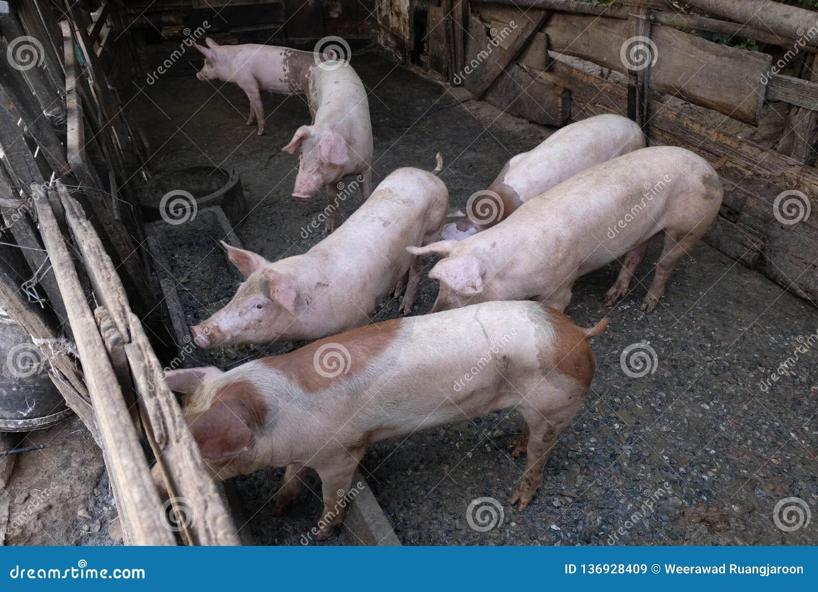 Gruppo di giovani maiali in azienda agricola locale, Tailandia