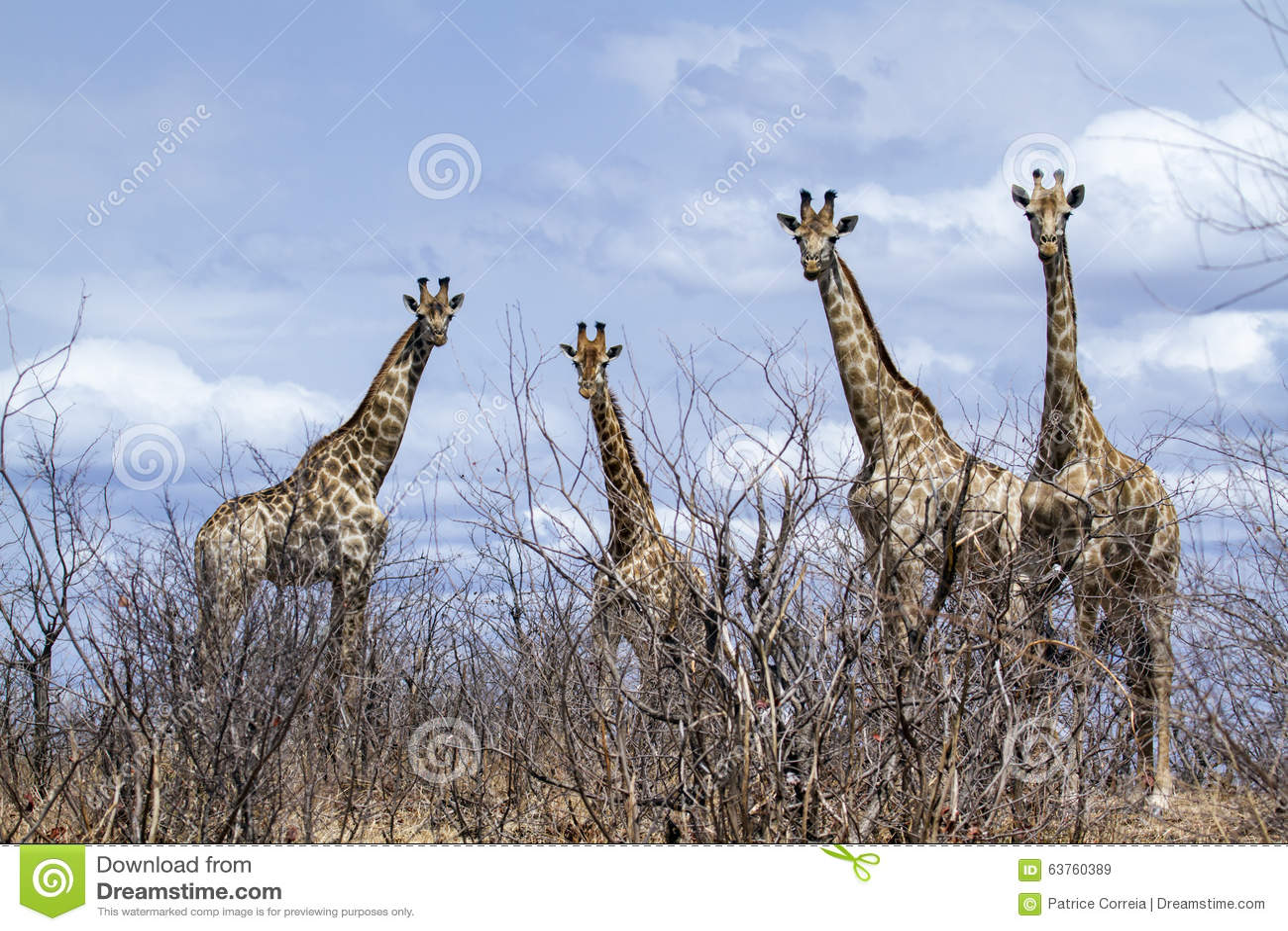 Gruppo di giraffe nel parco nazionale di Kruger, nella strada, il Sudafrica
