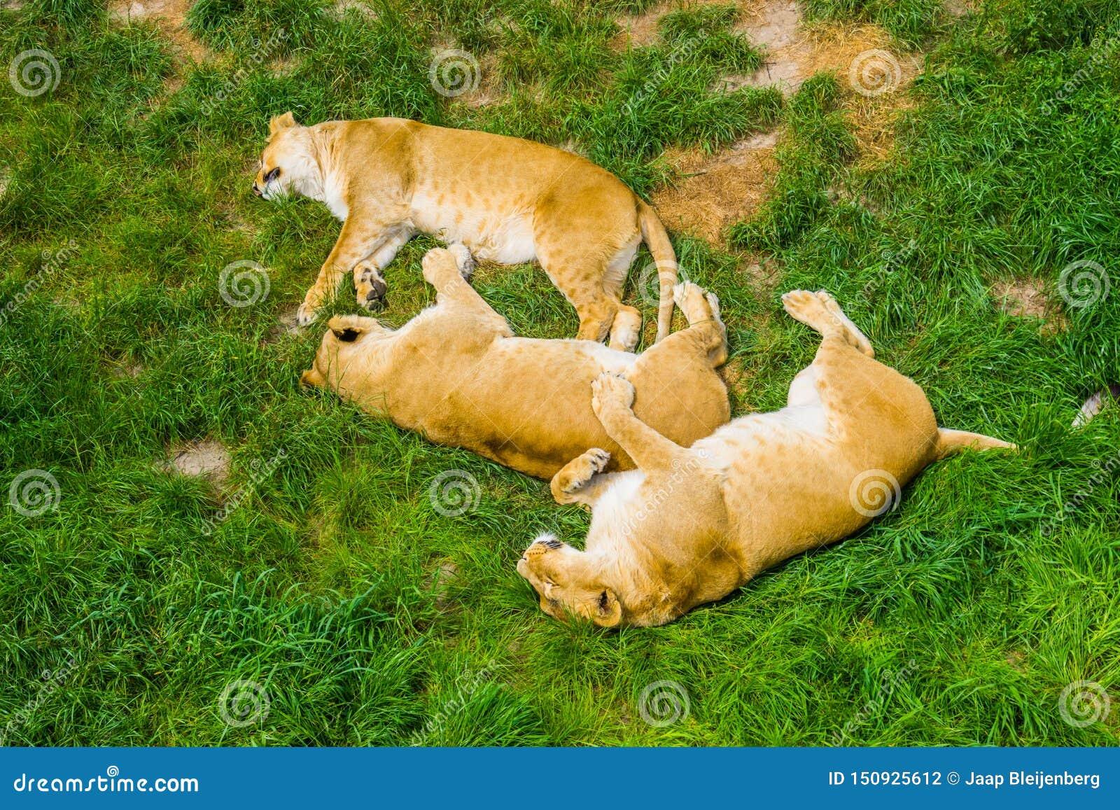Gruppo di leoni femminili che dormono insieme vicino nell erba, comportamento del leone sociale, specie animale vulnerabile dall