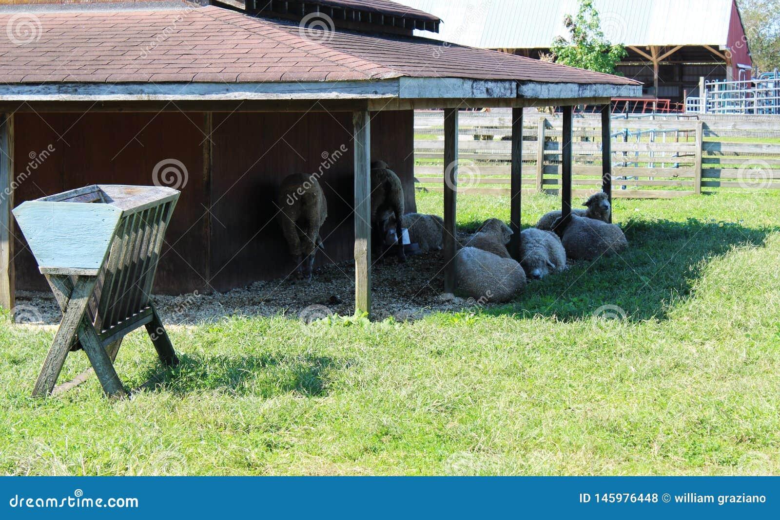 Gruppo di pecore fuori di un granaio