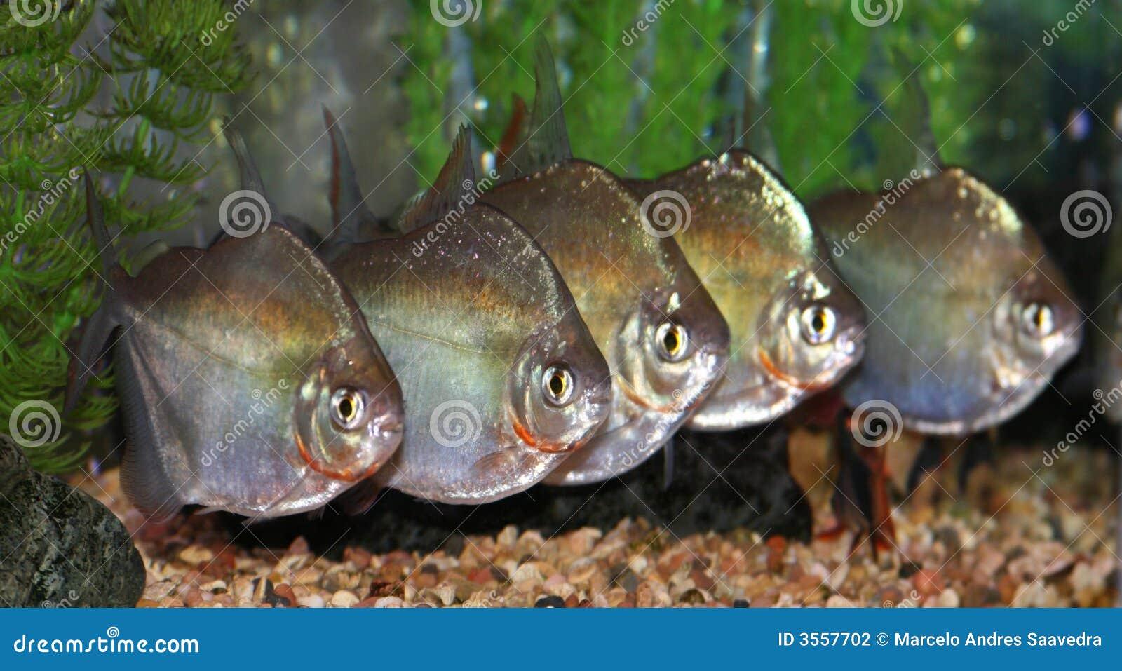 Gruppo di pesci del dollaro d argento.