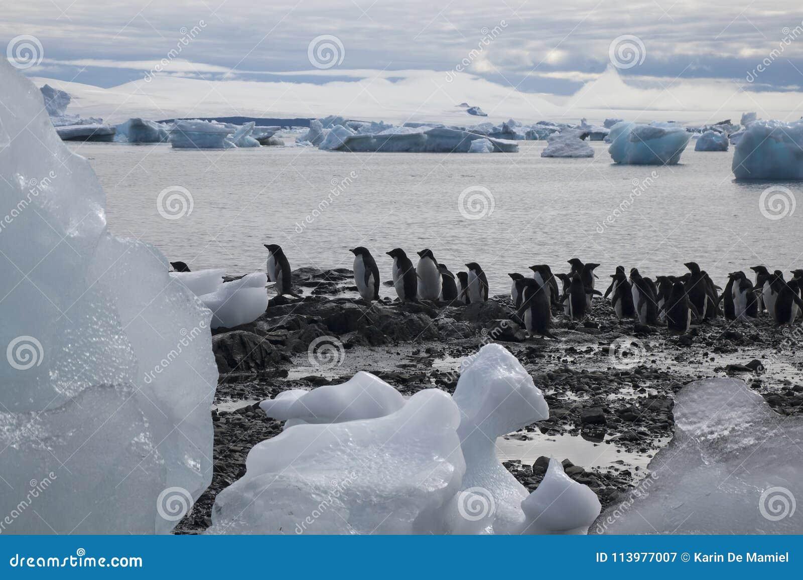 Gruppo di pinguini del adelie al bordo del ` s dell acqua