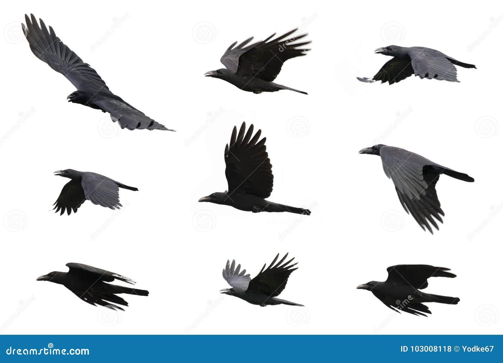 Gruppo di volo nero del corvo sul fondo bianco animale